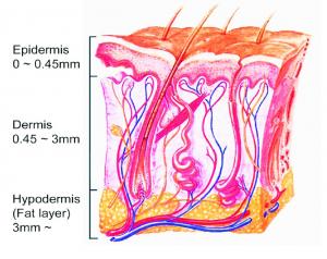 Crossection of the Epidermis